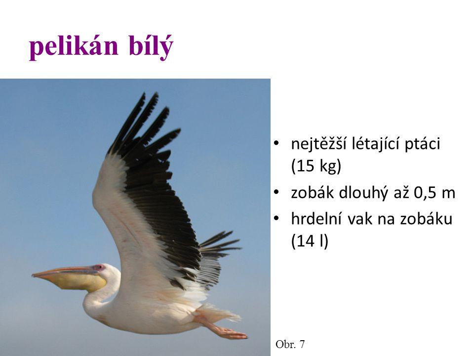 pelikán bílý nejtěžší létající ptáci (15 kg) zobák dlouhý až 0,5 m hrdelní vak na zobáku (14 l) Obr. 7