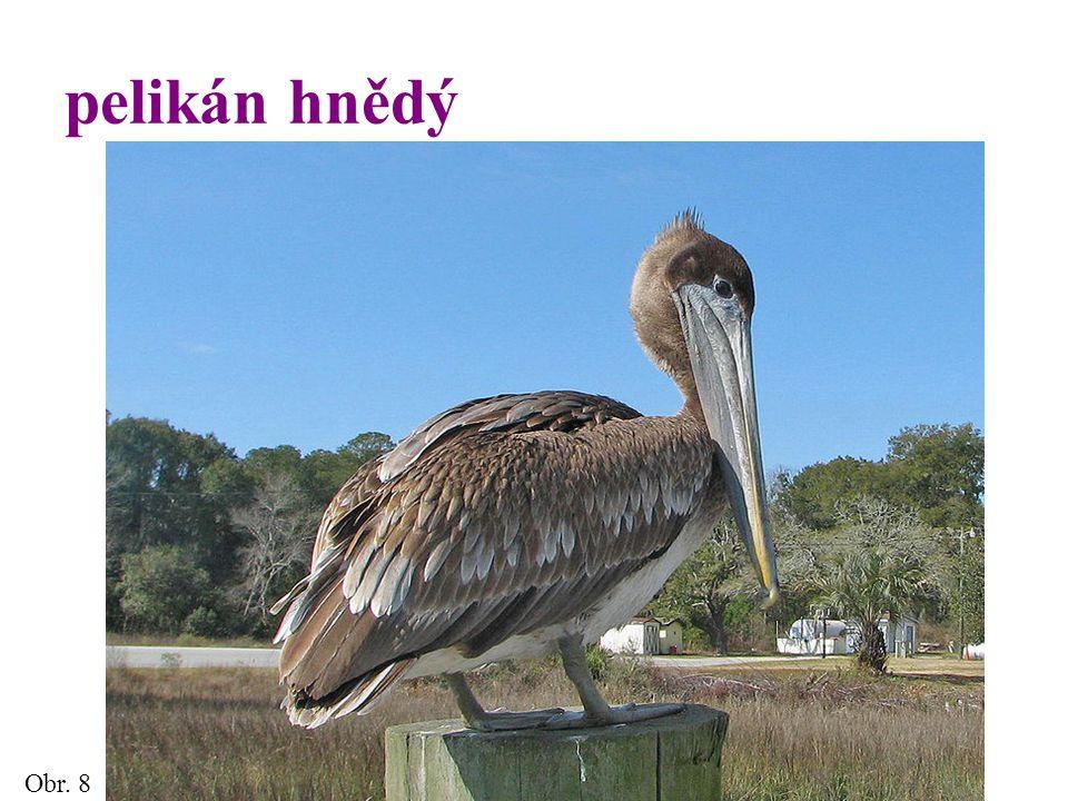 pelikán hnědý Obr. 8