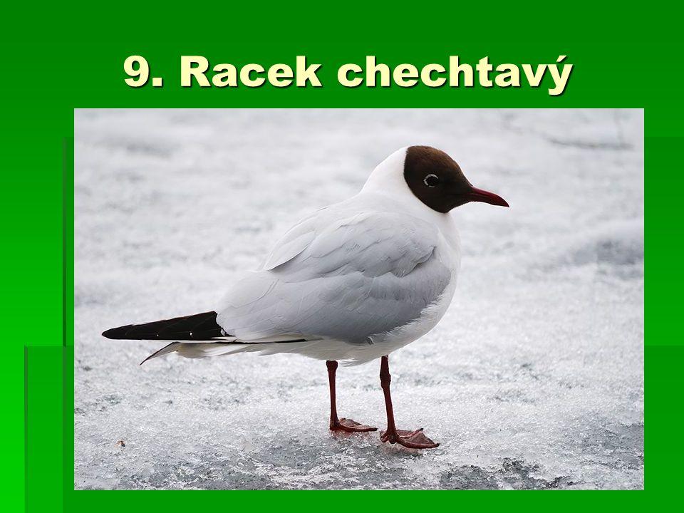 9. Racek chechtavý