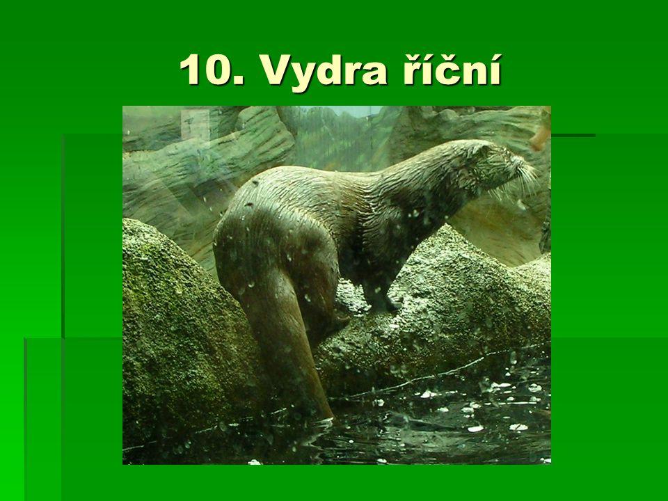 10. Vydra říční