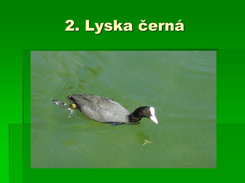 2. Lyska černá