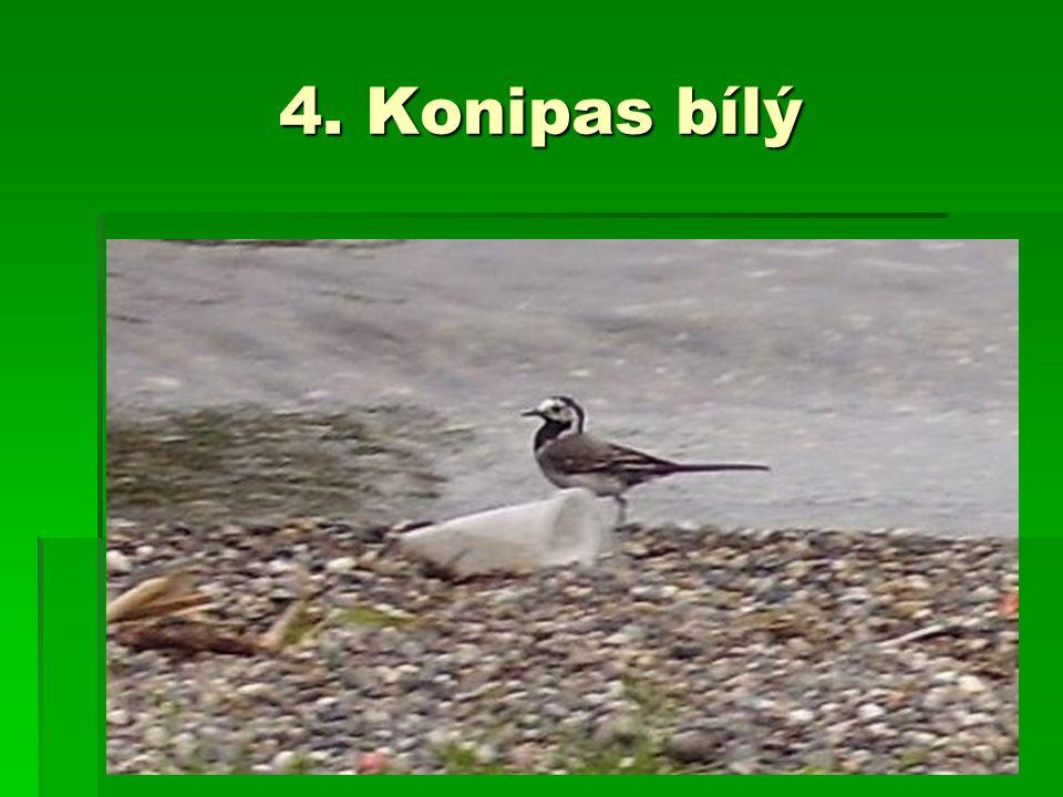 4. Konipas bílý