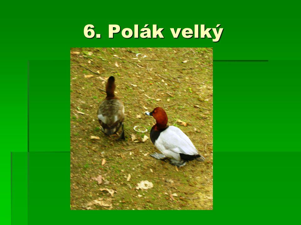 6. Polák velký