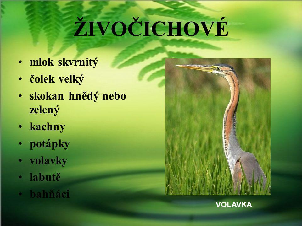 ŽIVOČICHOVÉ mlok skvrnitý čolek velký skokan hnědý nebo zelený kachny potápky volavky labutě bahňáci VOLAVKA