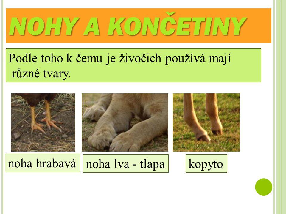 NOHY A KONČETINY Podle toho k čemu je živočich používá mají různé tvary. noha hrabavá noha lva - tlapakopyto
