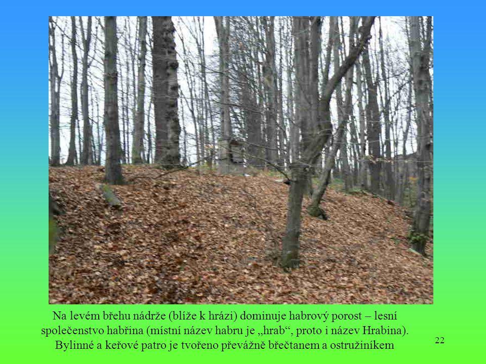 """22 Na levém břehu nádrže (blíže k hrázi) dominuje habrový porost – lesní společenstvo habřina (místní název habru je """"hrab"""", proto i název Hrabina). B"""