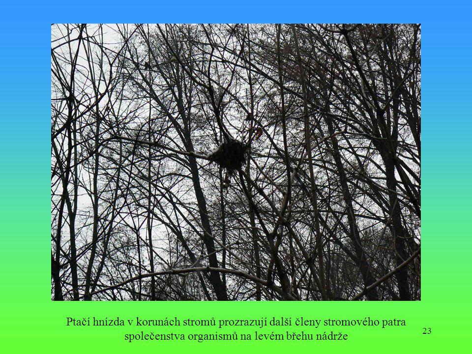 23 Ptačí hnízda v korunách stromů prozrazují další členy stromového patra společenstva organismů na levém břehu nádrže