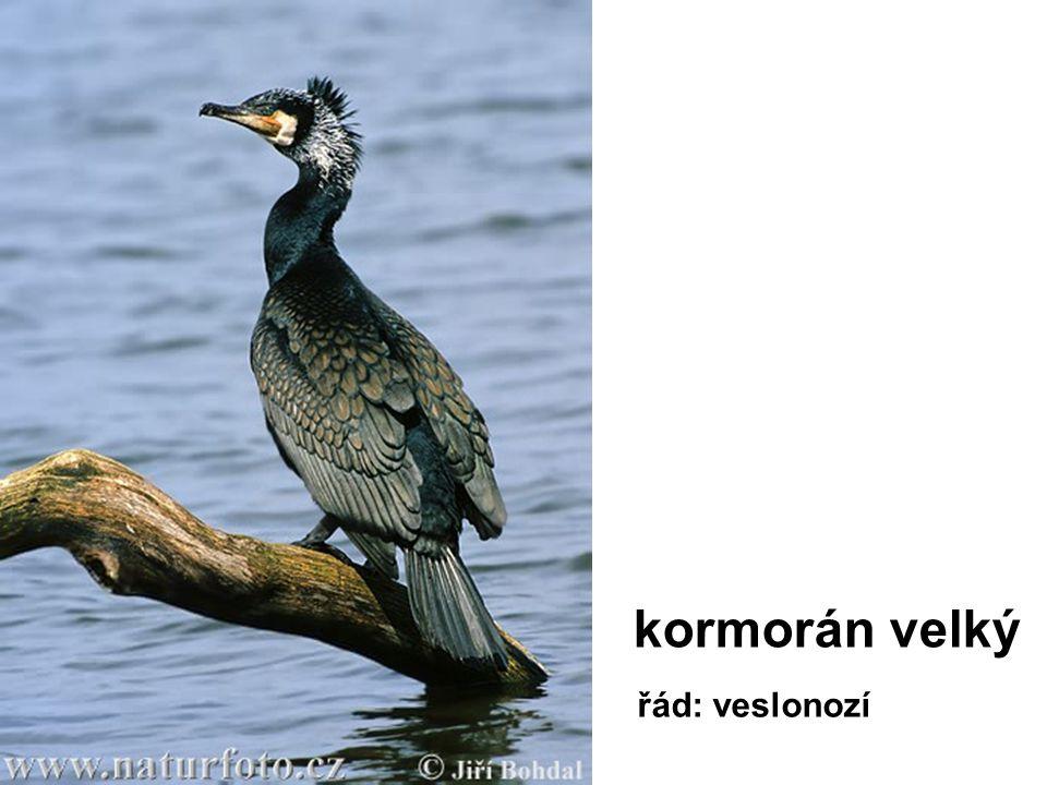kormorán velký řád: veslonozí