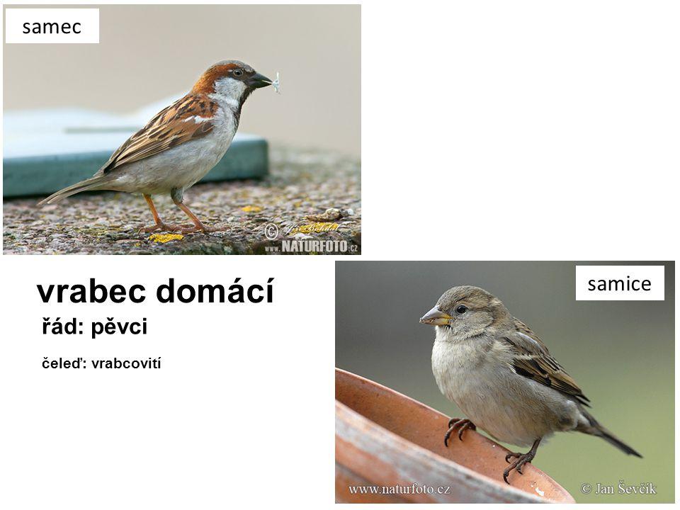 vrabec domácí samec samice řád: pěvci čeleď: vrabcovití