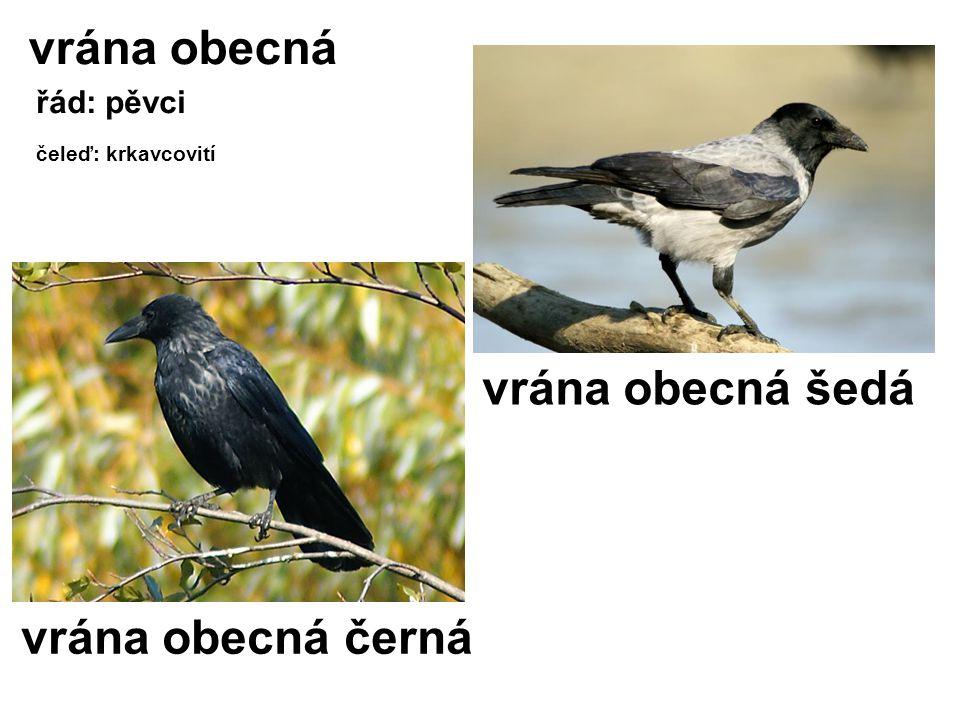 vrána obecná řád: pěvci čeleď: krkavcovití vrána obecná černá vrána obecná šedá