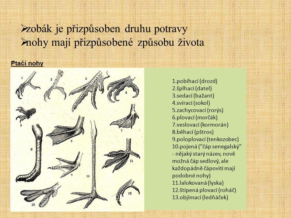 dravci Mezi typické znaky dravce patří hákovitě zahnutý zobák, ostré drápy a silná, široká křídla.