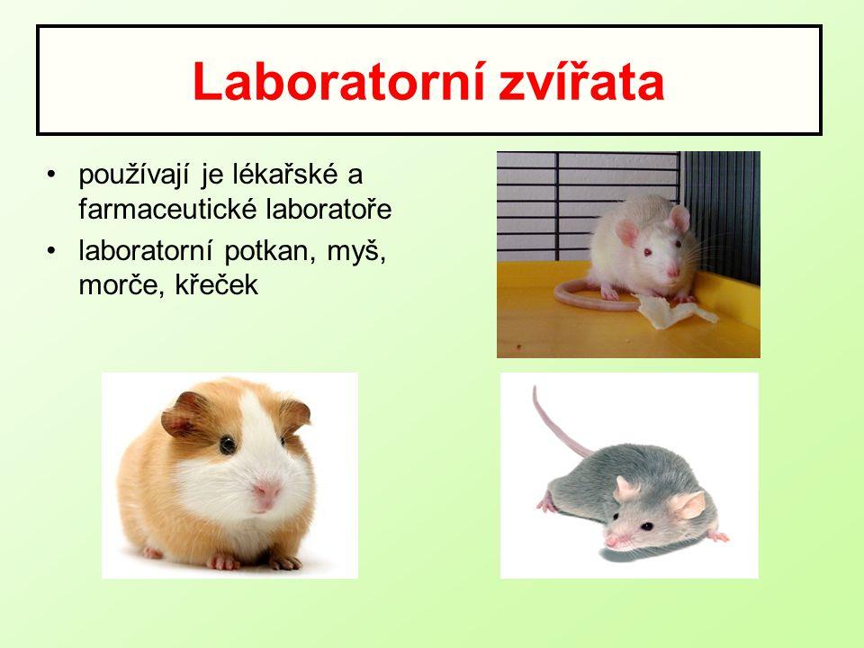 Laboratorní zvířata používají je lékařské a farmaceutické laboratoře laboratorní potkan, myš, morče, křeček
