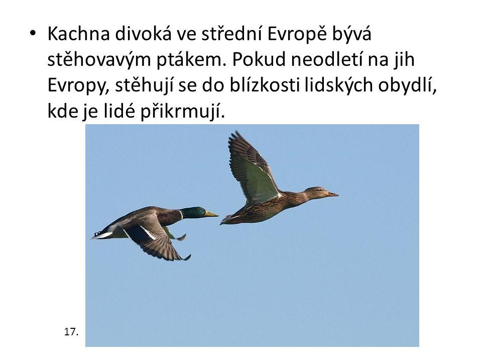 Kachna divoká ve střední Evropě bývá stěhovavým ptákem. Pokud neodletí na jih Evropy, stěhují se do blízkosti lidských obydlí, kde je lidé přikrmují.