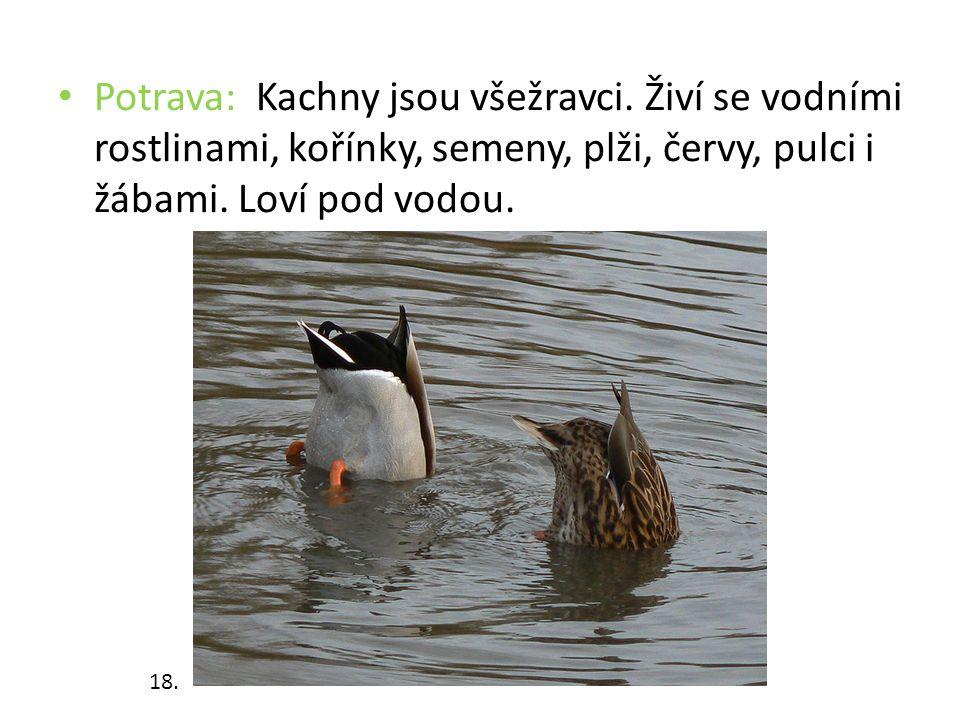 Potrava: Kachny jsou všežravci. Živí se vodními rostlinami, kořínky, semeny, plži, červy, pulci i žábami. Loví pod vodou. 18.