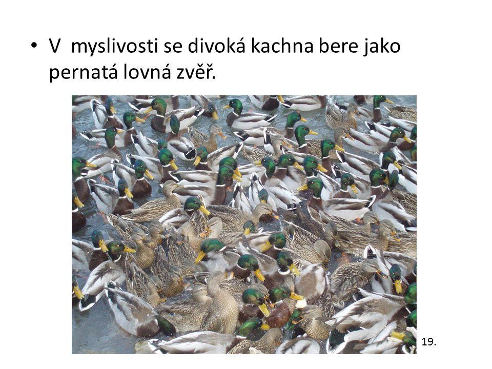 V myslivosti se divoká kachna bere jako pernatá lovná zvěř. 19.