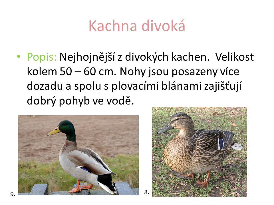 Kachna divoká Popis: Nejhojnější z divokých kachen. Velikost kolem 50 – 60 cm. Nohy jsou posazeny více dozadu a spolu s plovacími blánami zajišťují do
