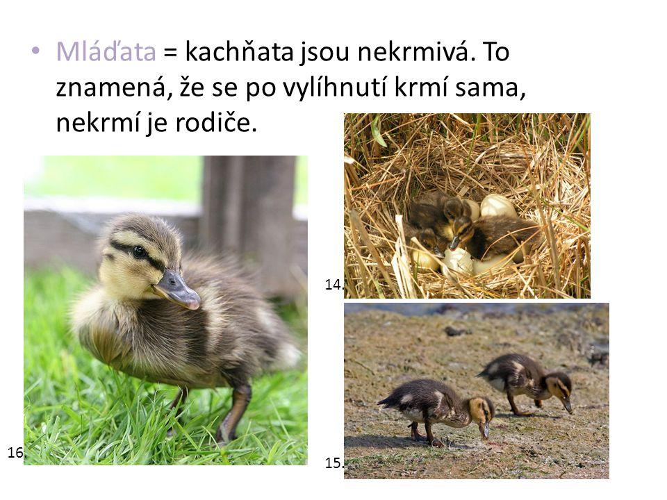 Mláďata = kachňata jsou nekrmivá. To znamená, že se po vylíhnutí krmí sama, nekrmí je rodiče. 14. 15. 16.