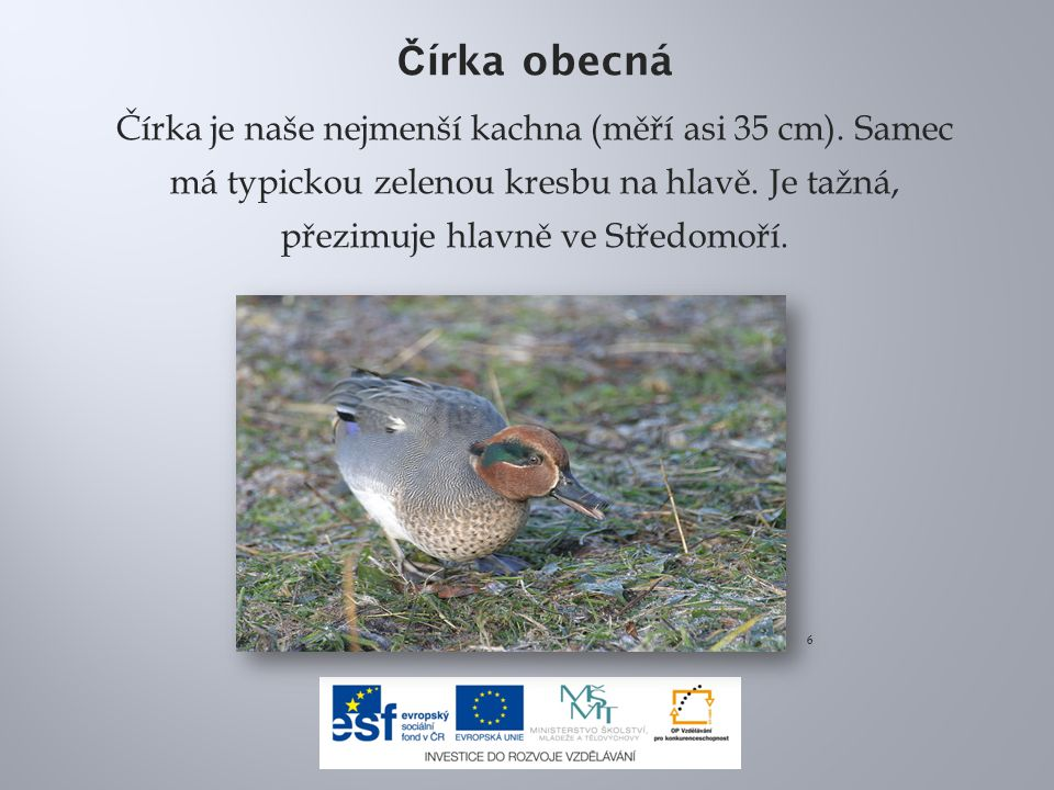 Č írka obecná Čírka je naše nejmenší kachna (měří asi 35 cm). Samec má typickou zelenou kresbu na hlavě. Je tažná, přezimuje hlavně ve Středomoří. 6