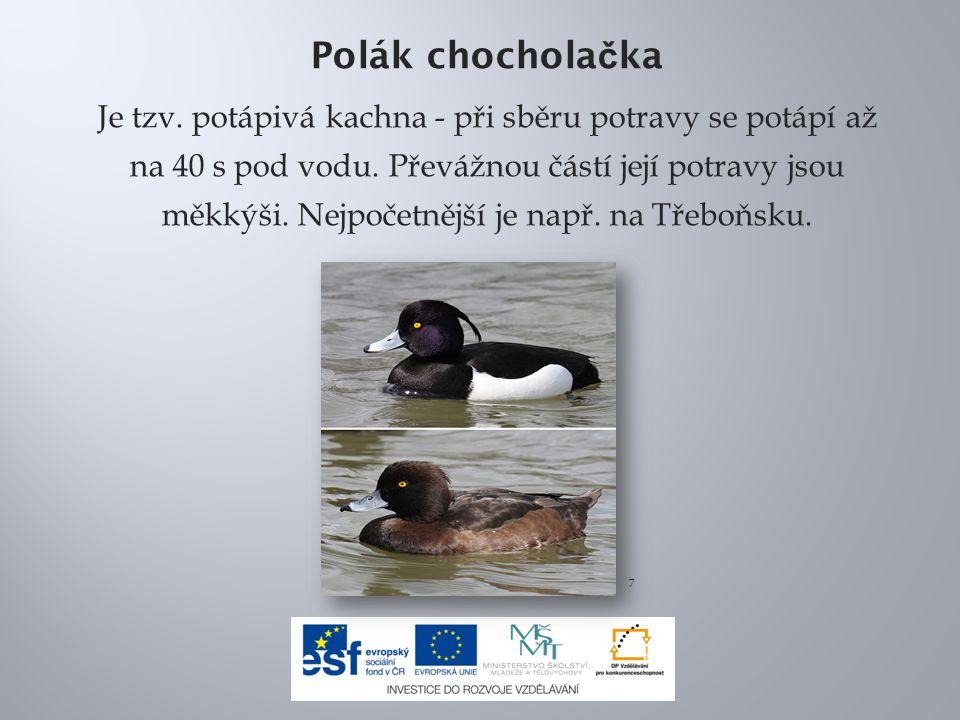 Polák chochola č ka Je tzv. potápivá kachna - při sběru potravy se potápí až na 40 s pod vodu. Převážnou částí její potravy jsou měkkýši. Nejpočetnějš