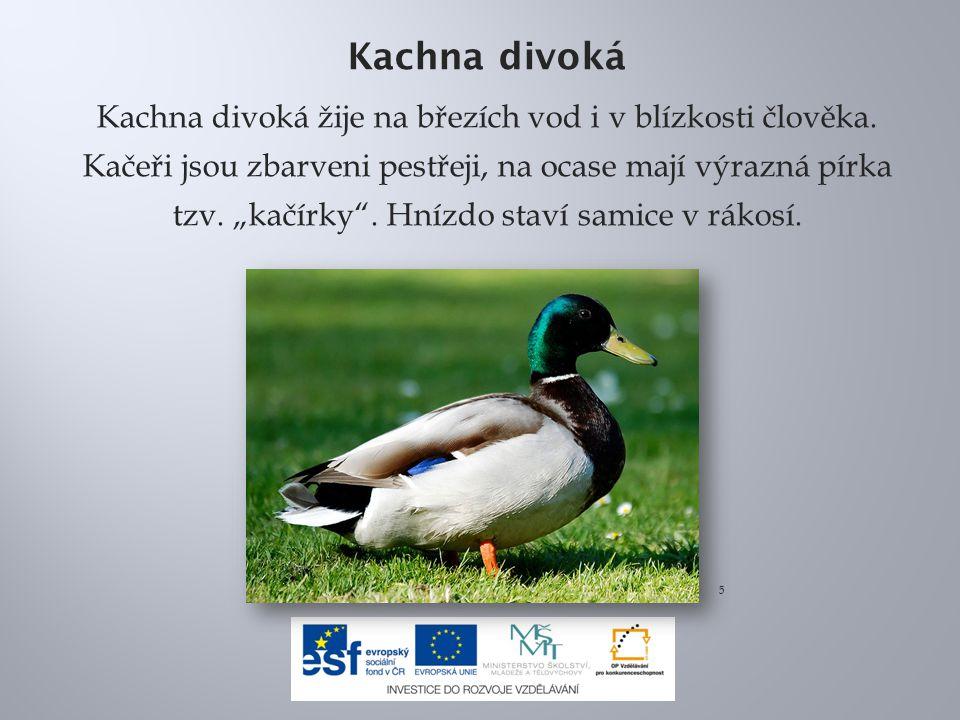 Č írka obecná Čírka je naše nejmenší kachna (měří asi 35 cm).