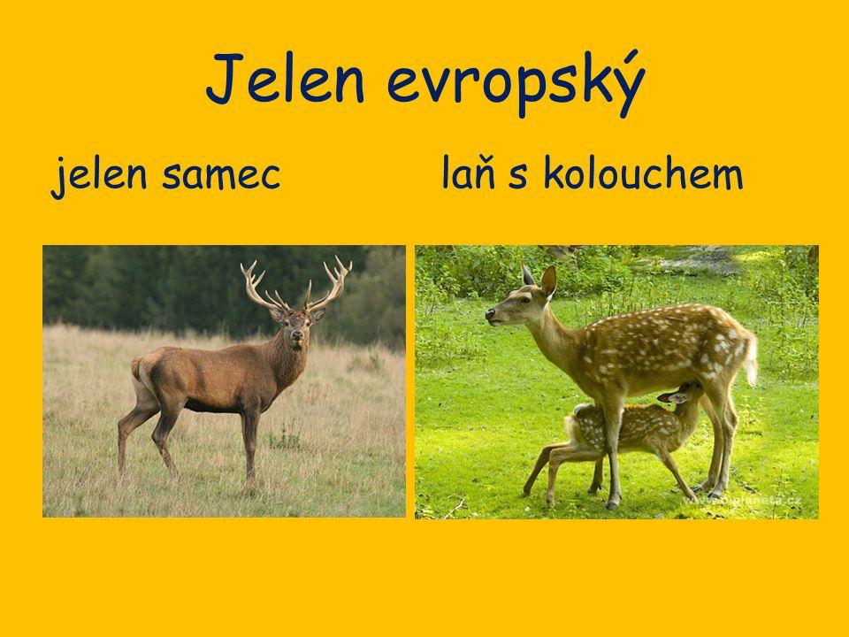 Jelen evropský jelen sameclaň s kolouchem