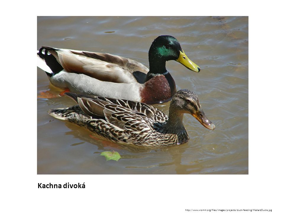 Kachna divoká http://www.xromm.org/files/images/projects/duck-feeding/MallardDucks.jpg