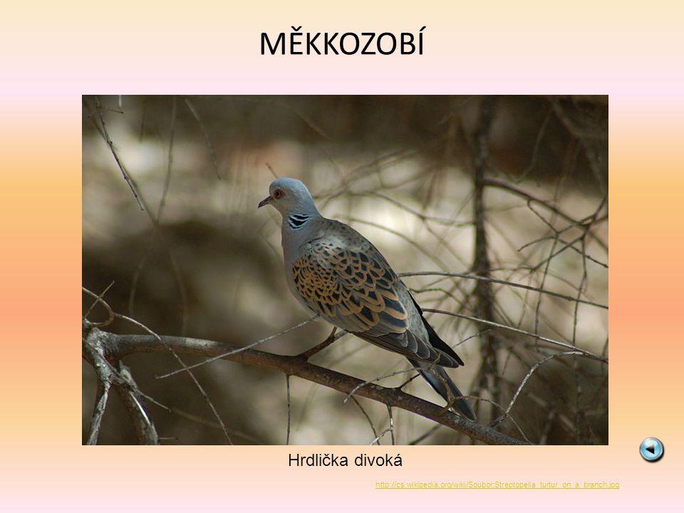 MĚKKOZOBÍ Hrdlička divoká http://cs.wikipedia.org/wiki/Soubor:Streptopelia_turtur_on_a_branch.jpg
