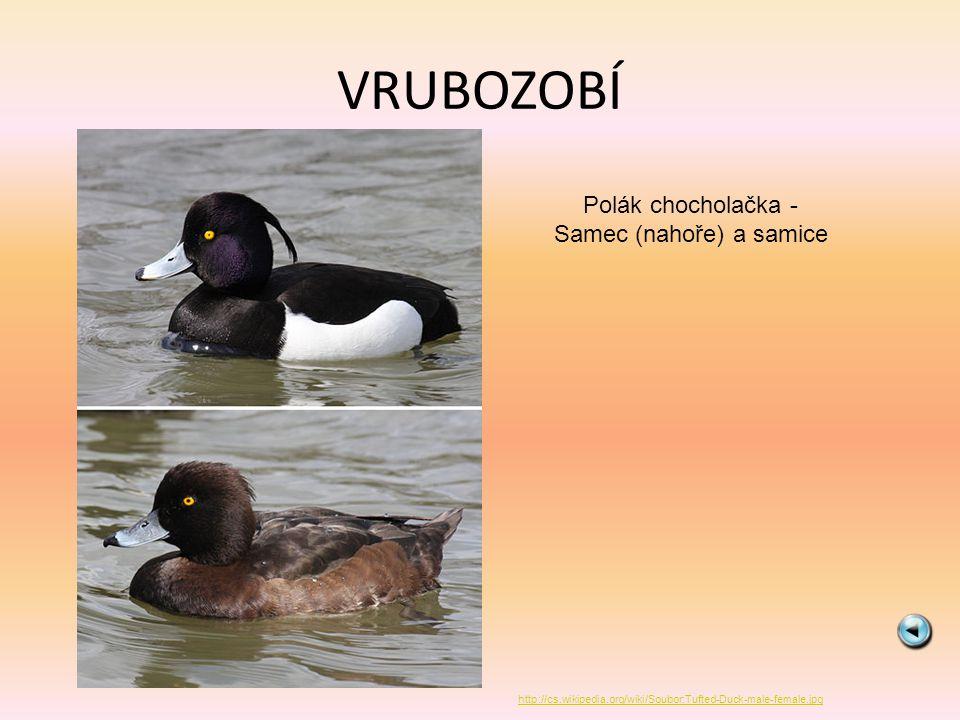 VRUBOZOBÍ Polák chocholačka - Samec (nahoře) a samice http://cs.wikipedia.org/wiki/Soubor:Tufted-Duck-male-female.jpg