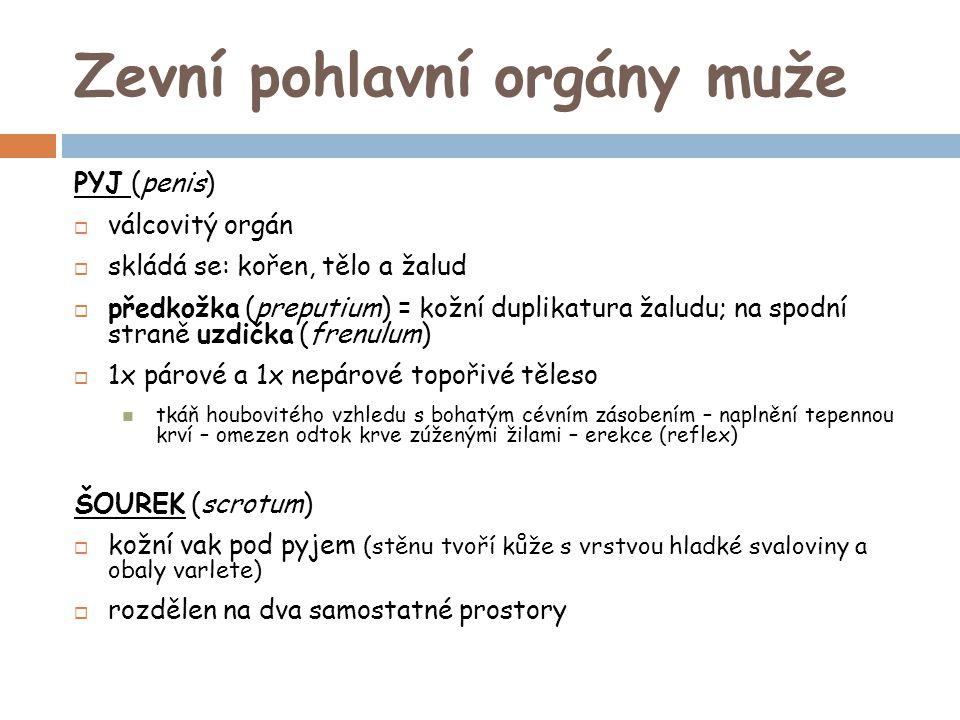Zevní pohlavní orgány muže PYJ (penis)  válcovitý orgán  skládá se: kořen, tělo a žalud  předkožka (preputium) = kožní duplikatura žaludu; na spodn