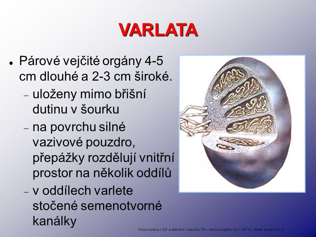 VARLATA Párové vejčité orgány 4-5 cm dlouhé a 2-3 cm široké.  uloženy mimo břišní dutinu v šourku  na povrchu silné vazivové pouzdro, přepážky rozdě