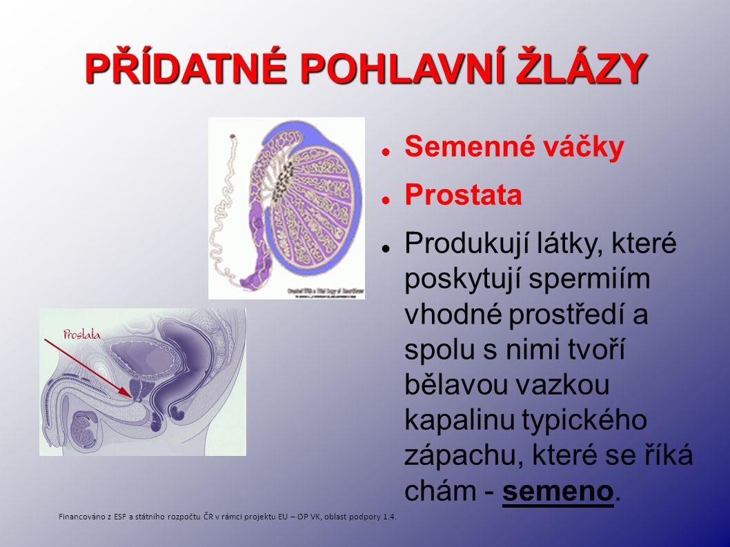 PŘÍDATNÉ POHLAVNÍ ŽLÁZY Semenné váčky Prostata Produkují látky, které poskytují spermiím vhodné prostředí a spolu s nimi tvoří bělavou vazkou kapalinu