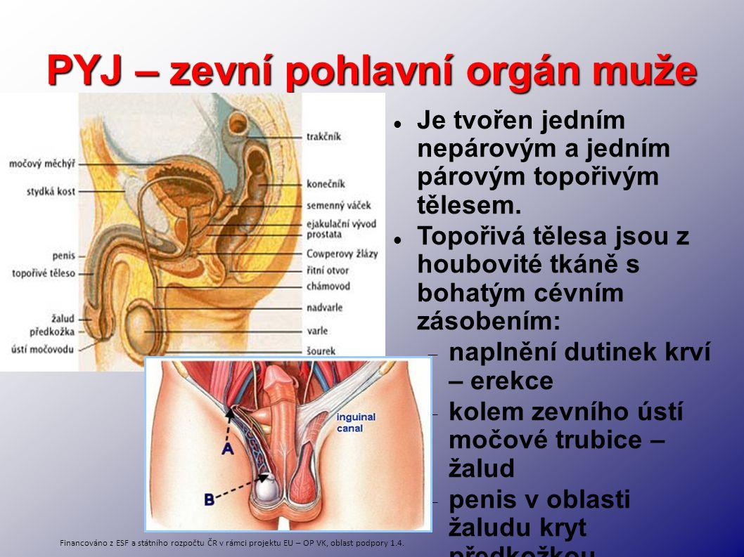 PYJ – zevní pohlavní orgán muže Je tvořen jedním nepárovým a jedním párovým topořivým tělesem. Topořivá tělesa jsou z houbovité tkáně s bohatým cévním
