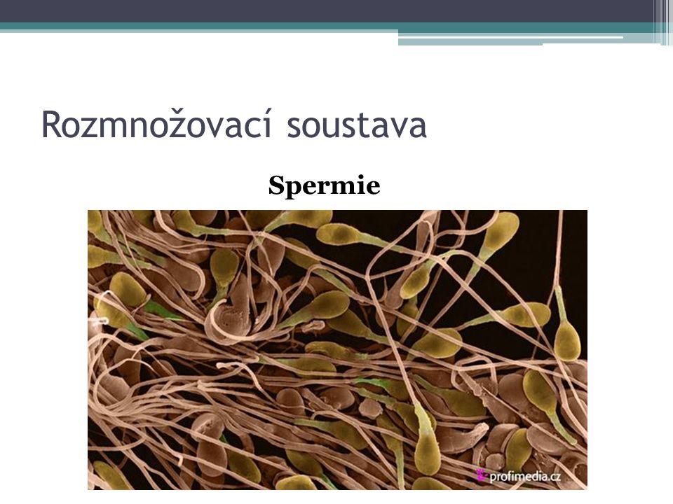 Rozmnožovací soustava Spermie