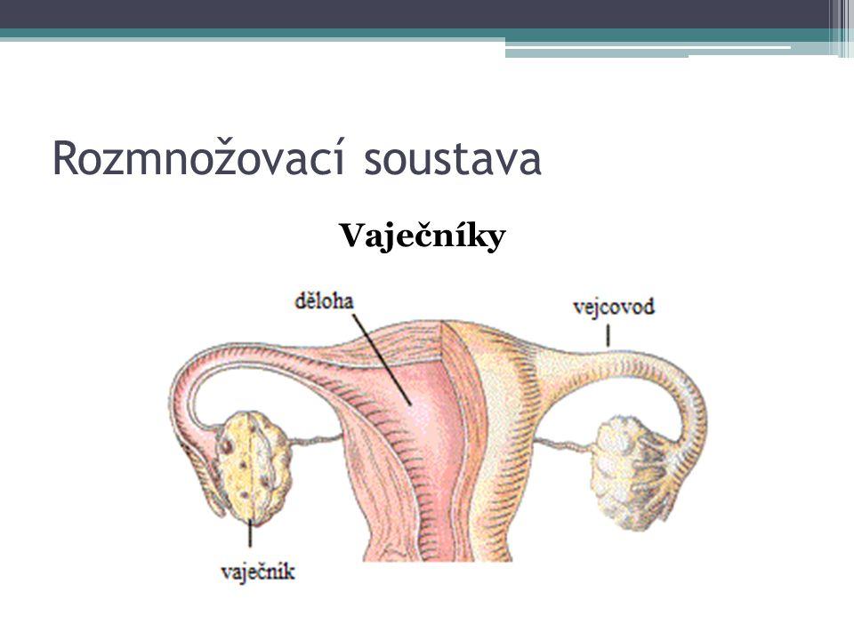 Rozmnožovací soustava Vaječníky