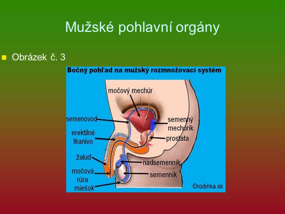 Mužské pohlavní orgány Obrázek č. 3