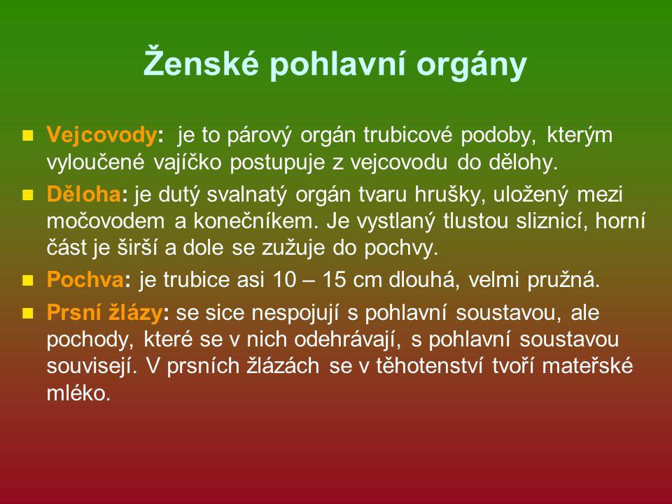 Ženské pohlavní orgány Vejcovody: je to párový orgán trubicové podoby, kterým vyloučené vajíčko postupuje z vejcovodu do dělohy. Děloha: je dutý svaln