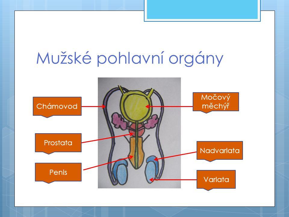 Mužské pohlavní orgány Varlata Nadvarlata Močový měchýř Chámovod Prostata Penis