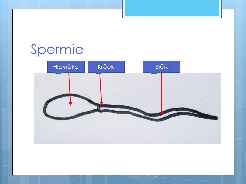 Cesta spermie  Vznikají ve varlatech a hromadí se v nadvarlatech  Nadvarle je spojeno s močovou trubicí chámovodem  Chámovod – je párová trubice dlouhá asi 40 cm, zde se spermie mísí s tekutinou – kterou vytváří předstojná žláza (prostata)  Tato tekutina vyživuje spermie  Vzniká semeno – ejakulát – ten je při pohlavním vzrušení vypuzován chámovodem a následně močovou trubicí z těla ven