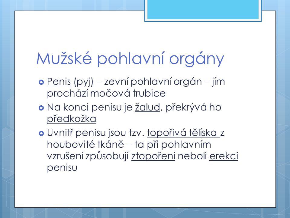 Varlata Nadvarlata Prostata Žalud Topořivá tělíska Penis Chámov od Močový měchýř Konečník Kostrč