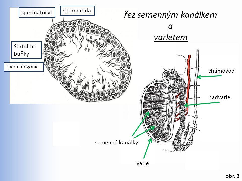 obr. 3 spermatida spermatogonie Sertoliho buňky spermatocyt semenné kanálky nadvarle varle chámovod řez semenným kanálkem a varletem