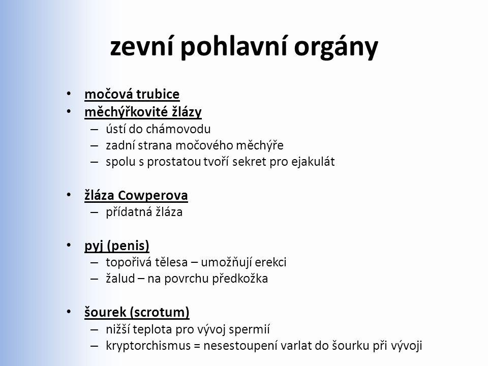 zevní pohlavní orgány močová trubice měchýřkovité žlázy – ústí do chámovodu – zadní strana močového měchýře – spolu s prostatou tvoří sekret pro ejaku