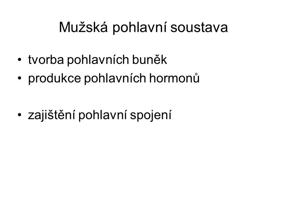 Mužská pohlavní soustava tvorba pohlavních buněk produkce pohlavních hormonů zajištění pohlavní spojení