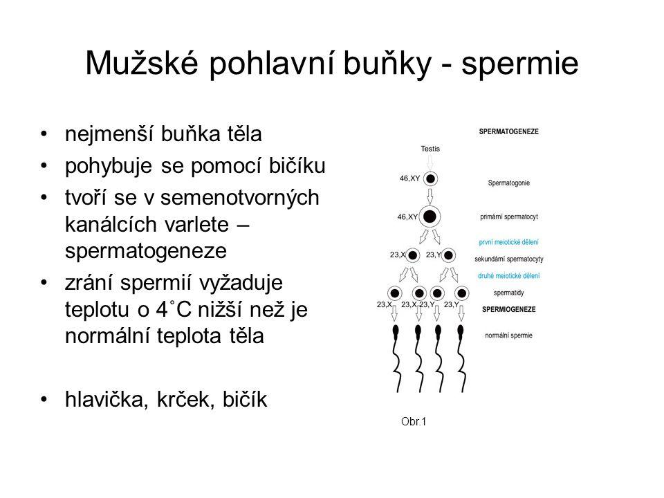 Mužské pohlavní buňky - spermie nejmenší buňka těla pohybuje se pomocí bičíku tvoří se v semenotvorných kanálcích varlete – spermatogeneze zrání spermií vyžaduje teplotu o 4˚C nižší než je normální teplota těla hlavička, krček, bičík Obr.1