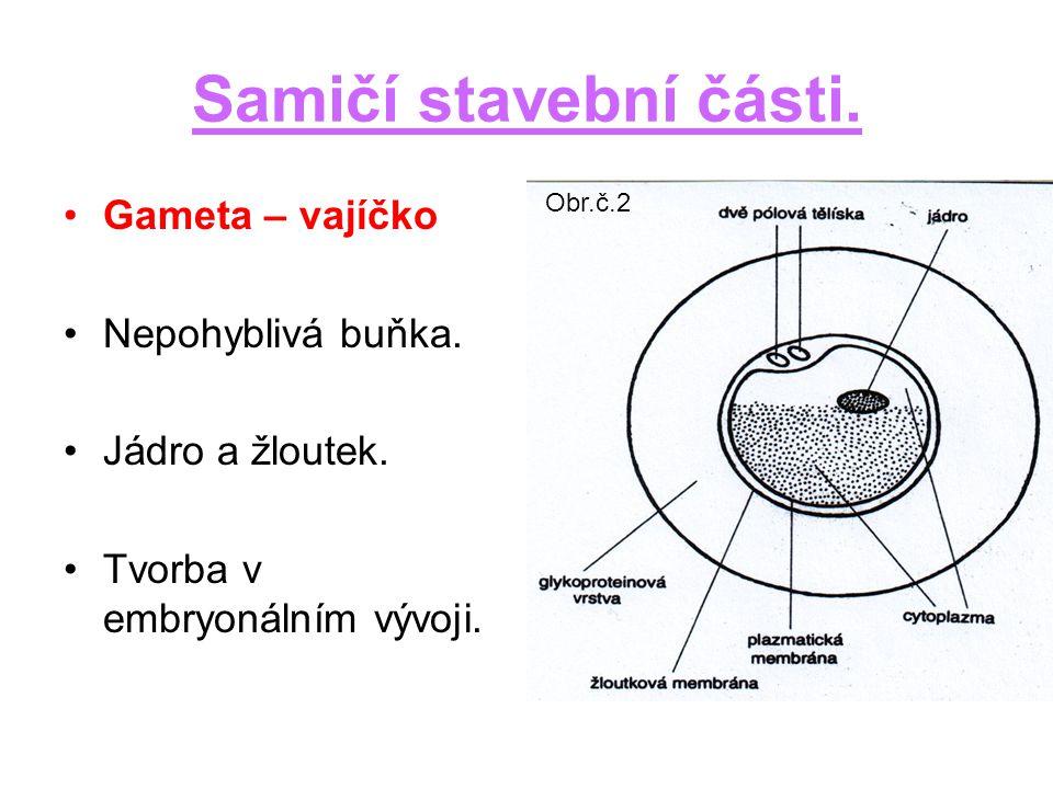 Samičí stavební části.Gameta – vajíčko Nepohyblivá buňka.