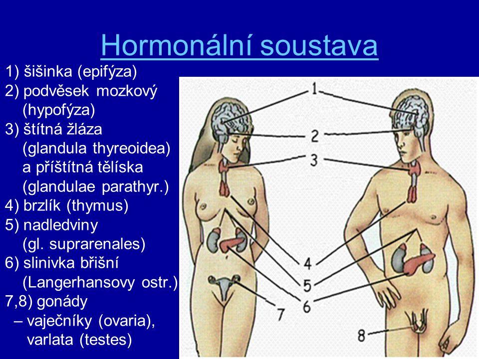 Hormonální soustava 1) šišinka (epifýza) 2) podvěsek mozkový (hypofýza) 3) štítná žláza (glandula thyreoidea) a příštítná tělíska (glandulae parathyr.