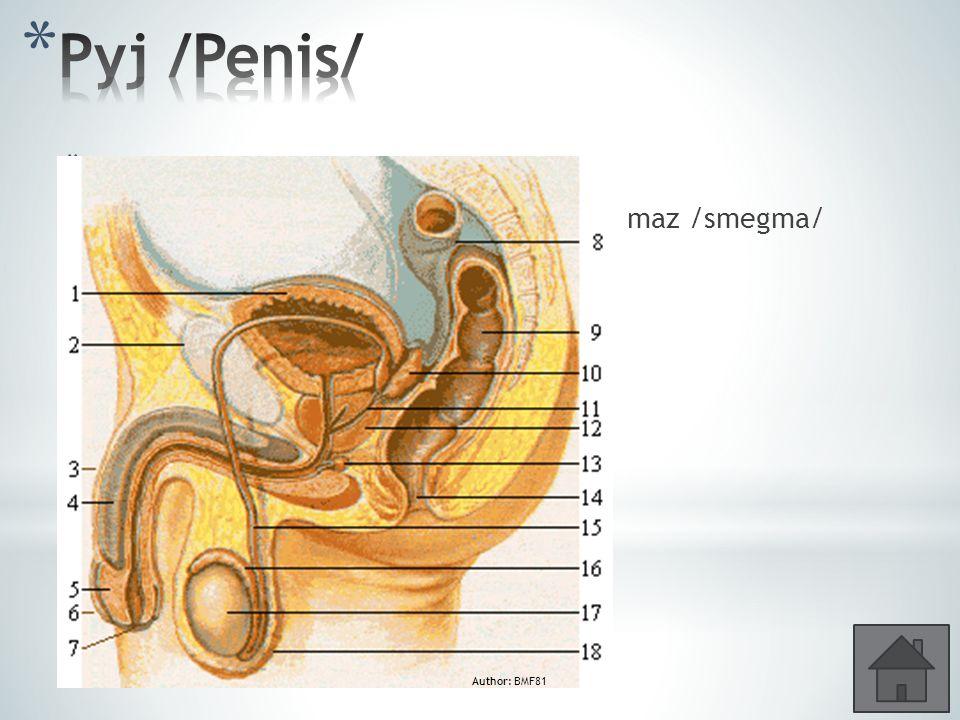 * 3 topořivá tělesa – erekce – ejakulace * Žalud /glans/, předkožka /praeputium/, maz /smegma/ Author: BMF81
