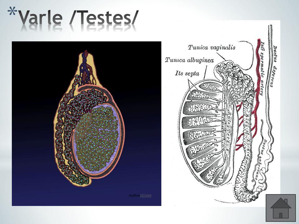 * Párový orgán vejčitého tvaru, 4 – 5 cm * Uložení v šourku * Semenotvorné kanálky – pohlavní buňky – spermie * Sertoliho buňky – chrání a vyživují je