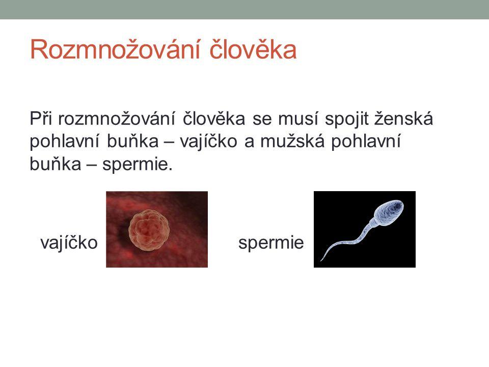 Rozmnožování člověka Při rozmnožování člověka se musí spojit ženská pohlavní buňka – vajíčko a mužská pohlavní buňka – spermie. vajíčko spermie