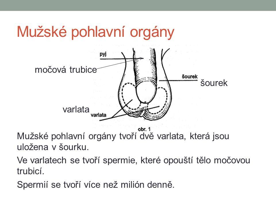 Mužské pohlavní orgány močová trubice šourek varlata Mužské pohlavní orgány tvoří dvě varlata, která jsou uložena v šourku. Ve varlatech se tvoří sper