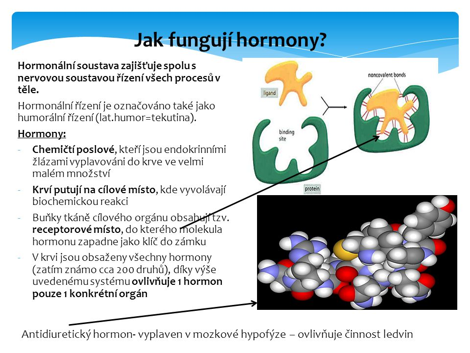 Hormonální soustava zajišťuje spolu s nervovou soustavou řízení všech procesů v těle. Hormonální řízení je označováno také jako humorální řízení (lat.